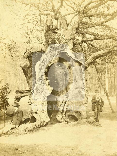 Shambles Oak, Sherwood Forest, Edwinstowe, c 1870