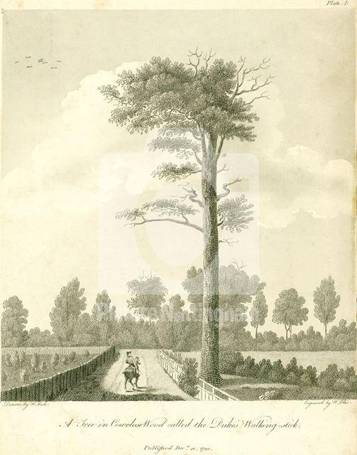 Dukes' Walking Stick, Welbeck Park, Sherwood Forest, Welbeck Abbey, c 1790