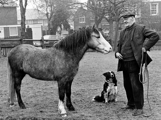 Mr George Darby, carter to the Park Estate, visit his pony, Tiny, with his dog Suki